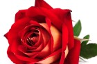 Life is Rose !
